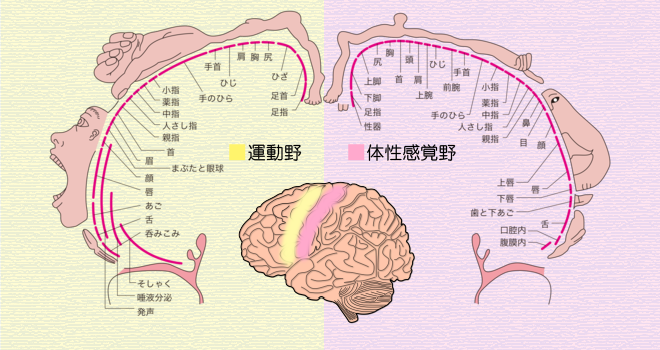 ペンフィールドの図から学ぶ脳活性化 ...